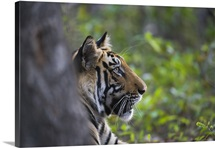 Bengal Tiger behind tree, dry season, Bandhavgarh National Park, India