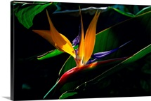 Bird of Paradise flower, Captiva Island, Florida