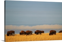 Bison (Bison bison) graze on the shortgrasses of a Wyoming prairie