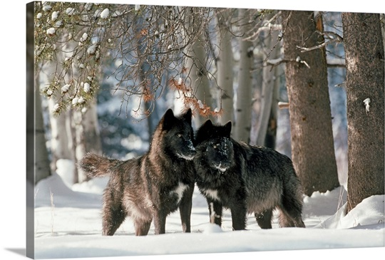 Gray Wolf Distribution Map By National Geographic | Dog Breeds Picture