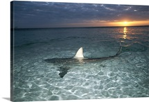 Blacktip shark fins, on water's surface, Bahama Islands