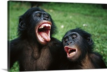 Bonobo juvenile pair making funny faces, Democratic Republic of the Congo
