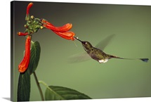 Booted Racket tail Hummingbird