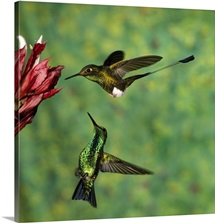Booted Racket-tail hummingbird and Western Emerald hummingbird, Ecuador