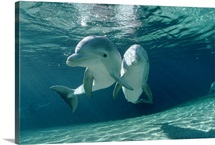 Bottlenose Dolphin pair, Hawaii