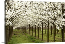 Bright rows of blossoming pear trees line a nursery in Spring