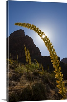 Bright sun behind a blooming century plant, Agave utahensis