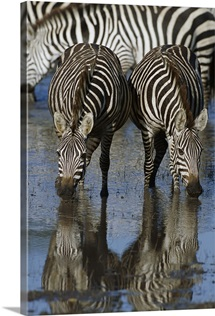 Burchell's Zebra pair at waterhole, Ngorongoro Conservation Area, Tanzania