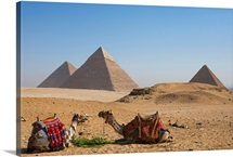 Camels at the great pyramids at Giza