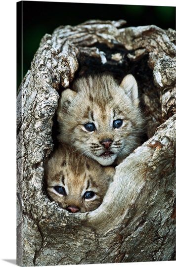 Canada Lynx North America Photo Canvas Print Great Big