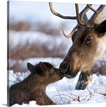Caribou mother and calf nuzzling, Kamchatka, Russia
