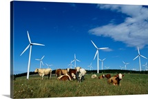 Cattle and windmills at Le Nordais, Canadas largest wind farm