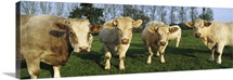 Charolais Cattle, Picardie, France