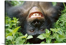 Chimpanzee, Democratic Republic of the Congo