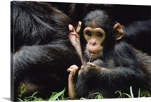 Chimpanzee mom and baby, Gombe Stream National Park, Tanzania