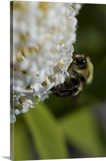 Close-up of a bee on a white flower