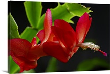 Close up of a Christmas cactus, Schlumbergera truncatus, in bloom