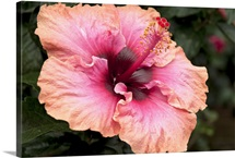 Close up of a large peachy pink hibiscus flower
