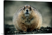 Close up of a prairie dog, Montana