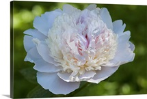 Close up of a showy peony flower, Paeonia species