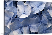 Close up of blue mophead hydrangea flowers, Hydrangea macrophylla