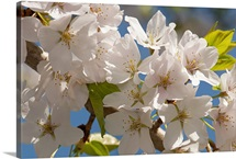Close up of cherry blossoms, Prunus species, in springtime