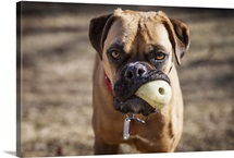 Close view of a rescued Boxer mix dog staring at the camera with a chew toy in his mouth