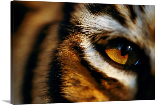 Close view of tiger eye, Madhav National Park, India