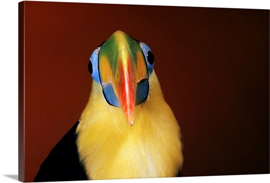 Closeup Front View Of Head And Shoulders Of Toco Toucan