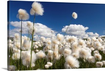 Cotton grass whips in the wind, Paxon, Alaska