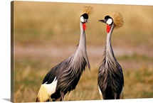 Crowned cranes, Chobe National Park, Botswana