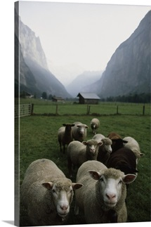 Curious sheep in a deep valley, Lauterbrunnen Valley, Bernese Alps, Switzerland