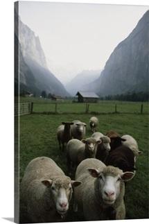 Curious sheep in a deep valley, Lauterbrunnen Valley, Bernese Alps, Switzerland