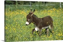 Donkey foal in field of flowers, Germany