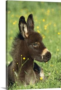 Donkey, Germany