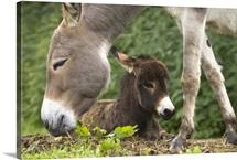 Donkey with foal, Bavaria, Germany
