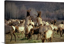 Elk cows spar in the midst of a wintering herd, Cascade Mountains, Washington