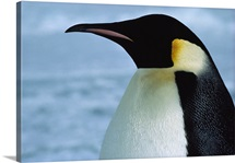 Emperor penguin in profile, Cape Crozier, McMurdo Sound, Antarctica