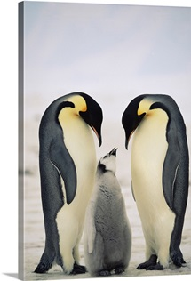 Emperor Penguin parents with chick, Antarctica