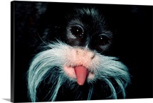 Emperor tamarin sticking its tongue out, South America