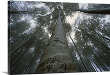European Beech forest looking up to misty canopy, Jasmund National Park, Ruegen, Germany