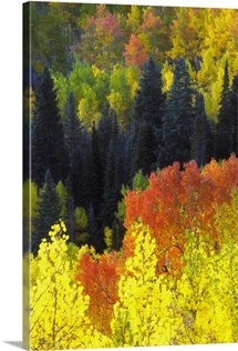 Evergreen trees, aspens, and others in brilliant autumn hues