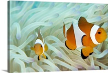 False clown anemonefish on an anemone, Sabonan Island