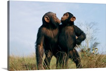 Fast friends, a pair of orphan chimpanzees, Tchimpounga Sanctuary, Republic of the Congo
