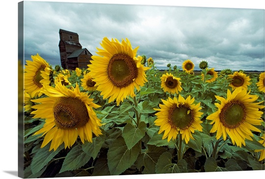 Field of sunflowers, North Dakota