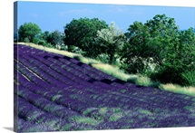 Flowering lavender field in Provence, Provence-Alpes-Cote D'azur Region, France
