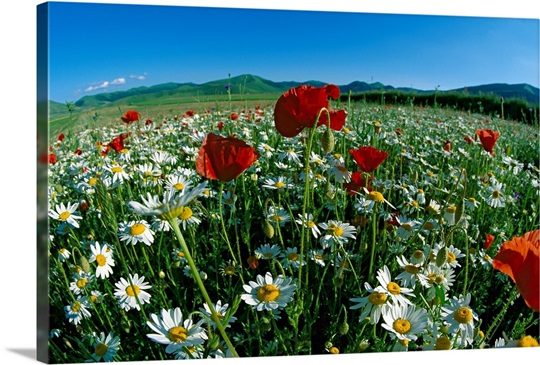 Flowering meadow With Chamomile, Italy
