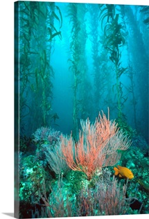 Giant Kelp forest, Garibaldi Channel Islands National Park, California