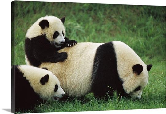Giant Panda Cubs Playing Giant Panda fem...