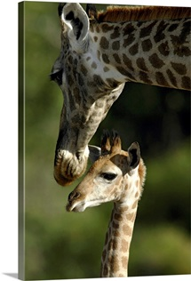 Giraffe with baby, Okavango Delta, Botswana